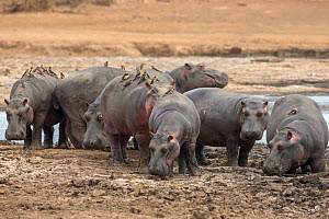 Hippopotamus (Hippopotamus amphibius) group on land with red billed oxpeckers (Buphagus erythrorhynchus), Kruger National park, Mpumalanga, South Africa.  -  Ann  & Steve Toon