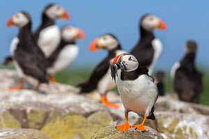 Puffins (Fratercula arctica), foreground puffin with beak full of sandeels, Farne Islands, Northumberland, UK, July.  -  Ann  & Steve Toon