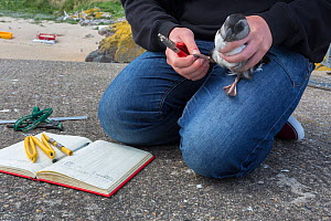 Ringing puffin chick (Fratercula arctica), newly emerged from burrow, Inner Farne, Farne Islands, Northumberland, UK, July. - Ann  & Steve Toon