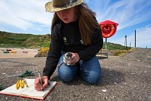National Trust ranger Laura Shearer recording number of ring just fitted to puffin chick (Fratercula arctica), newly emerged from burrow, Inner Farne, Farne Islands, Northumberland, UK, July. - Ann  & Steve Toon