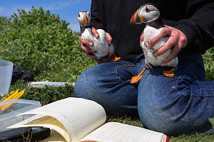 Puffin (Fratercula arctica) pair removed from burrow for ringing, Inner Farne, Farne Islands, Northumberland, UK, July. - Ann  & Steve Toon