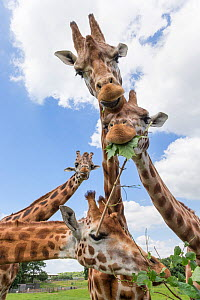 Rothschild's giraffes (Giraffa camelopardalis rothschildi), feeding on leaves, Woburn Safari Park, UK, June, captive.  -  Ann  & Steve Toon