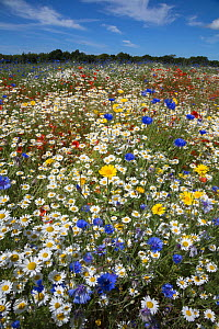 Wildflowers, including poppies (Papaver rhoeas), corn marigold (Glebionis segetum), cornflowers (Centaurea cyanus) and corn chamomile (Anthemis arvensis), being grown for seed by Landlife, Fir Tree Fa... - Ann  & Steve Toon