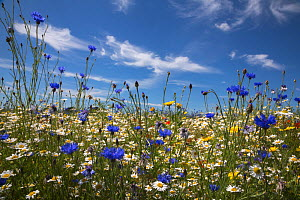 Wildflowers, including corn marigold (Glebionis segetum), cornflowers (Centaurea cyanus) and corn chamomile (Anthemis arvensis), being grown for seed by Landlife, Fir Tree Farm, Merseyside, UK, June. - Ann  & Steve Toon
