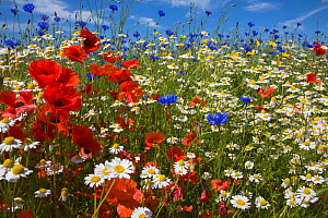 Cornfield annual summer wildflowers growing on one of the plant charity Landlife's National Wildflower Farms, St Helens, Merseyside, UK, June. - Ann  & Steve Toon