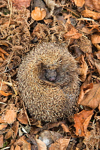 Hedgehog (Erinaceus europaeus) curled up sleeping in autumn leaves, UK, June, captive.  -  Ann  & Steve Toon