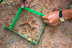 Staff from NGO Freeland preparing to take a cast of an Indochinese tiger paw print (Panthera tigris corbetti), Thap Lan National Park, Thailand, August. - Ann  & Steve Toon