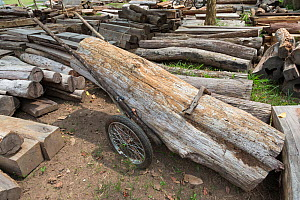 Improvised cart used by poachers to remove Siam rosewood tree (Dalbergia cochinchinensis) timber stored as evidence, Thap Lan National Park, Dong Phayayen-Khao Yai Forest Complex, eastern Thailand, Au... - Ann  & Steve Toon