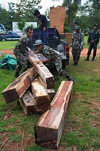 Thap Lan rangers unloading Siam rosewood tree (Dalbergia cochinchinensis) timber  confiscated from poachers, Thap Lan National Park, Dong Phayayen-Khao Yai Forest Complex, eastern Thailand, August, 20... - Ann  & Steve Toon