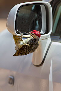 Bennett's woodpecker (Campethera bennettii) attacking its reflection in car wing mirror, Kruger National Park, South Africa.  -  Ann  & Steve Toon
