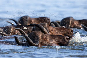Cape buffalo (Syncerus caffer) crossing the Chobe River, followed by swarm of flies, Chobe Game Reserve, Botswana, Africa. - Ann  & Steve Toon