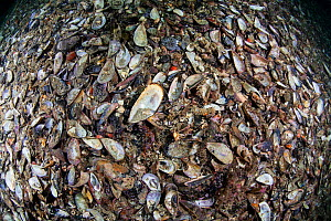 Green-lipped mussel shells (Perna canaliculus) in Breaksea Sound, Fiordland National Park, New Zealand.  -  Richard Robinson