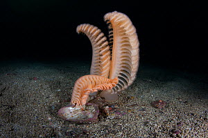Large sea pen (Pteroeides bollonsi) in Doubtful Sound, Fiordland National Park, New Zealand. - Richard Robinson
