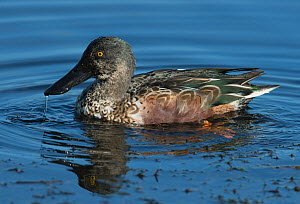 Northern Shoveler (Anas clypeata) drake, moulting from eclipse into full winter plumage, Leighton Moss, Lancashire, UK. October.  -  Roger Powell