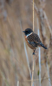 Stonechat (Saxicola rubicola) moulting into breeding plumage and perched in a reedbed. Cresswell, Northumberland, UK. November. - Roger Powell