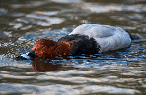 Common Pochard (Aythya ferina) feeding by filtering food from the waters surface. Martin Mere WWT Reserve, Lancashire, UK. November.  -  Roger Powell