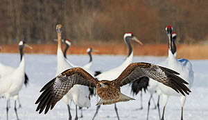 Black kite (Milvus migrans) flying and red-crowned crane (Grus japonensis) on snow, Hokkaido, Japan, February. - Markus Varesvuo