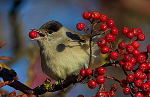 Blackcap (Sylvia atricapilla) feeding on berries, Uto, Finland, October. - Markus Varesvuo