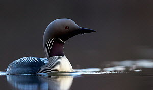 Black-throated diver (Gavia arctica) on water, Finland, May. - Markus Varesvuo