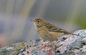 Blyth's pipit (Anthus godlewskii) perched on rock, Uto, Finland, October.  -  Markus Varesvuo