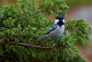 Coal tit (Periparus ater) perched on branch, Uto, Finland, October.  -  Markus Varesvuo
