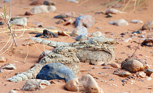 Egyptian nightjar (Caprimulgus aegyptius) resting on sand, Morocco, March.  -  Markus Varesvuo