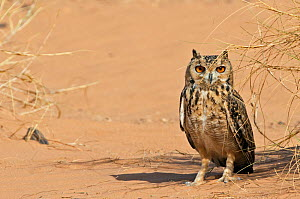 Pharaoh eagle owl (Bubo ascalaphus) on sand, Morocco, March. - Markus Varesvuo