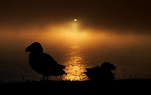 Puffin (Fratercula arctica) silhouetted at sunset, Shetland Islands, Scotland, UK, July. - Markus Varesvuo