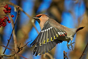 Waxwing (Bombycilla garrulus) flying near berries, Kuusamo, Finland, November. - Markus Varesvuo