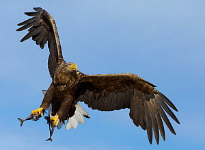 White-tailed eagle (Haliaeetus albicilla) with two fish in talons, Norway, October.  -  Markus Varesvuo