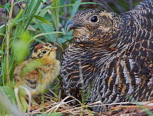 Black grouse (lyrurus tetrix) female and chick at nest, Vaala, Finland, June. - Markus Varesvuo