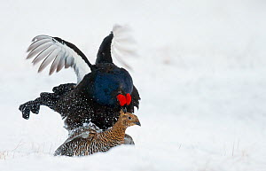 Black grouse (Lyrurus tetrix) mating in snow, Utajarvi, Finland, May. - Markus Varesvuo