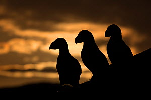 Puffin (Fratercula arctica) silhouettes, Hornoya, Varanger, Finnmark, Norway, May. - David  Pattyn