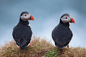 Puffin (Fratercula arctica), Hornoya, Varanger, Finnmark, Norway, April. - David  Pattyn