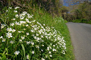 Greater stitchwort (Stellaria holostea) flowering on the grassy banked verge of a country lane, Cornwall, UK, April. - Nick Upton