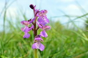 Green-winged orchid (Orchis / Anacamptis morio) flowering in a traditional hay meadow meadow, Wiltshire UK, May.  -  Nick Upton