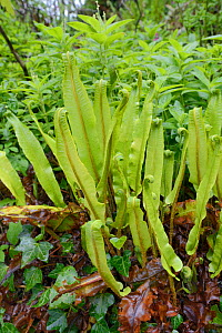 Clump of Hart's-tongue fern (Phyllitis / Asplenium scolopendrium) in woodland understorey after recent rain, Cornwall, UK, May.  -  Nick Upton