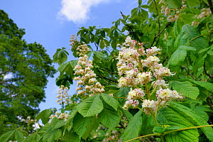 Horse Chestnut (Aesculus hippocastanum) flowers, Wiltshire, UK, May.  -  Nick Upton