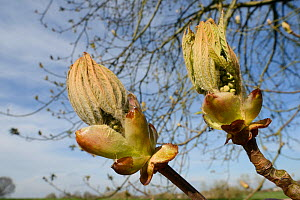 Horse Chestnut (Aesculus hippocastanum) leaf buds opening, Wiltshire, UK, April.  -  Nick Upton