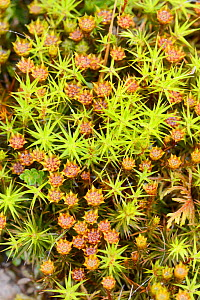 Top view of Juniper haircap moss (Polytrichum juniperinum) with male gametophytes bearing flower like antheridia, Bodmin moor, Cornwall, UK, May. - Nick Upton