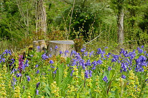 Early purple orchid (Orchis mascula) and a carpet of Bluebells (Hyacinthoides non-scripta / Endymion non-scriptus) and Yellow archangel (Lamium galeobdolum) flowering in recently coppiced woodland, th... - Nick Upton