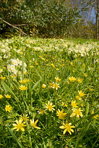Carpet of Lesser celandines (Ranunculus ficaria) and Common primroses (Primula vulgaris) flowering on a woodland edge, Cornwall, UK, April.  -  Nick Upton