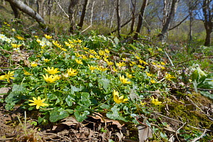 Lesser celandines (Ranunculus ficaria) flowering in woodland, Cornwall, UK, April.  -  Nick Upton
