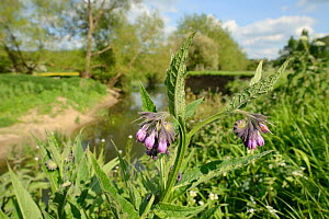 Common comfrey (Symphytum officinale) flowering on the banks of the River Avon, Lacock, Wiltshire, UK, May. - Nick Upton