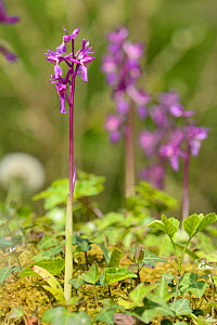 Group of Early purple orchids (Orchis mascula) flowering in ancient woodland, GWT Lower Woods reserve, Gloucestershire, UK, May.  -  Nick Upton
