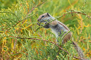 Barbary ground squirrel (Atlantoxerus getulus) feeding in bush, Fuerteventura, Canary Islands. Introduced from North Africa. - Edwin  Giesbers