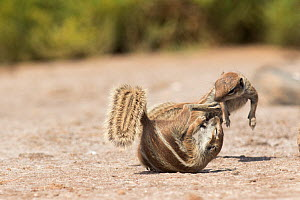 Barbary ground squirrels (Atlantoxerus getulus) fighting, Fuerteventura, Canary Islands. Introduced from North Africa.  -  Edwin  Giesbers