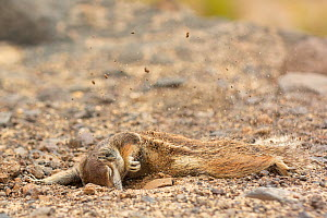 Barbary ground squirrel (Atlantoxerus getulus) digging, Fuerteventura, Canary Islands. Introduced from North Africa. - Edwin  Giesbers