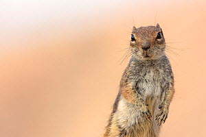 Barbary ground squirrel (Atlantoxerus getulus)  Fuerteventura, Canary Islands. Introduced from North Africa. - Edwin  Giesbers