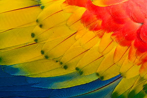 RF- Scarlet macaw (Ara macao) close up of feathers, El Manantial Macaw Sanctuary, Costa Rica. Captive. (This image may be licensed either as rights managed or royalty free.) - Edwin  Giesbers
